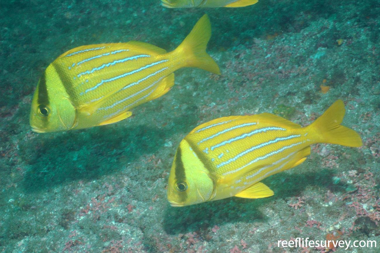 Anisotremus taeniatus, Coiba, Panama,  Photo: Graham Edgar