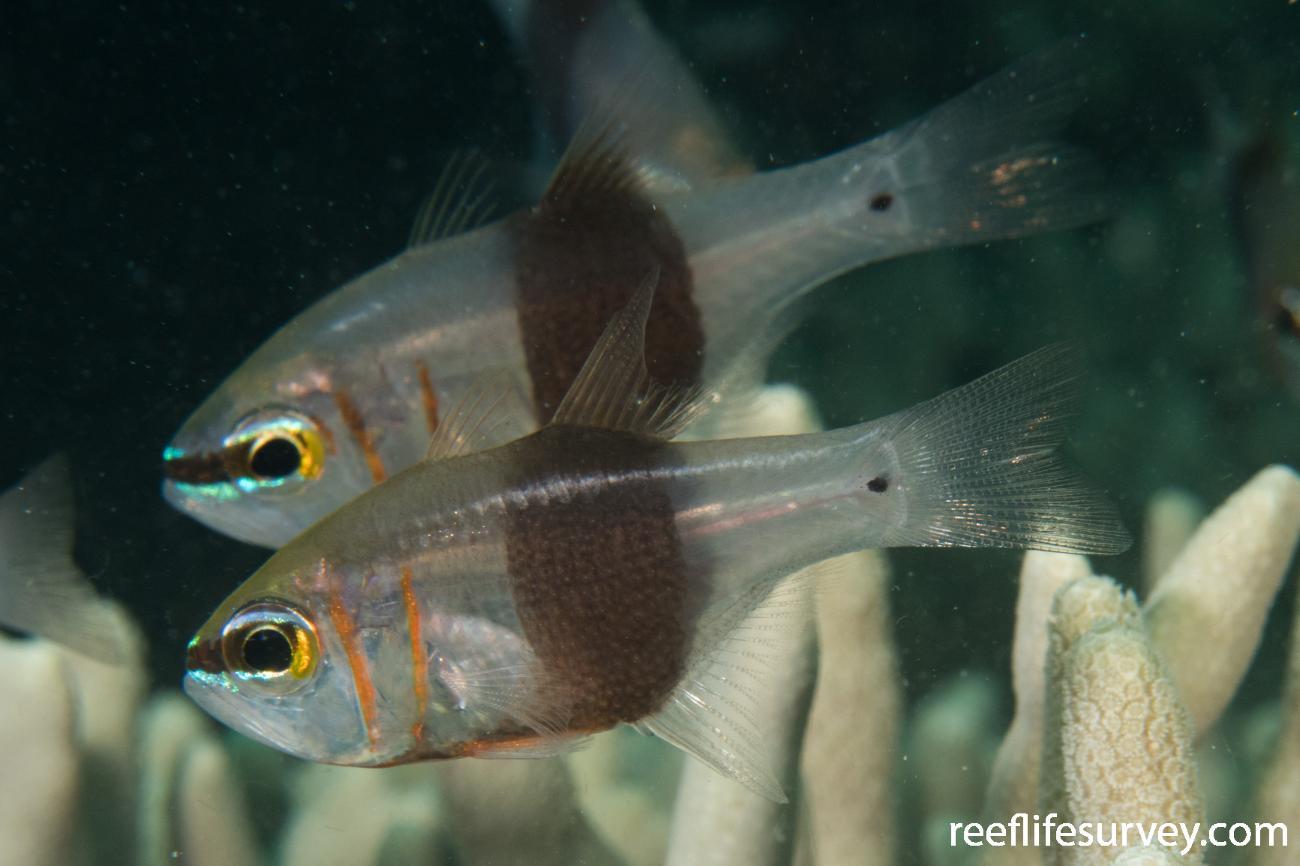 Taeniamia zosterophora, QLD, Australia,  Photo: Rick Stuart-Smith