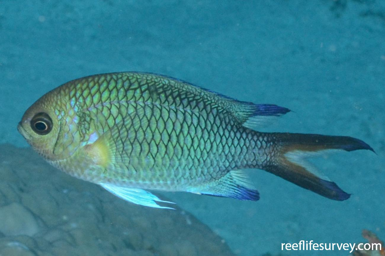 Chromis xanthochira, Adult.  Photo: Graham Edgar