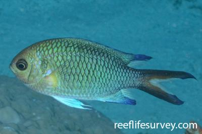 Chromis xanthochira: Adult.  Photo: Graham Edgar