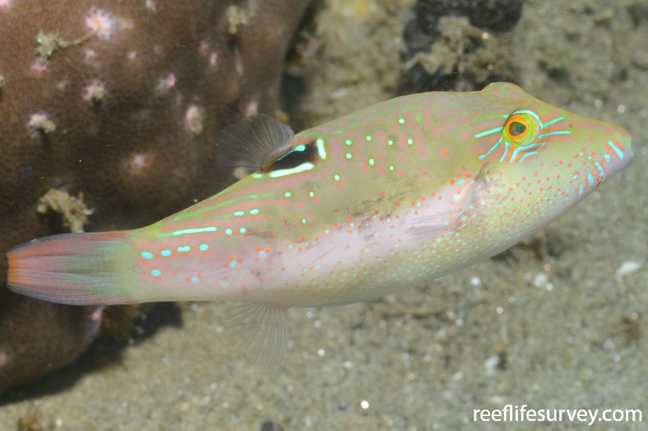 Canthigaster bennetti, Ambon, Indonesia,  Photo: Joe Shields