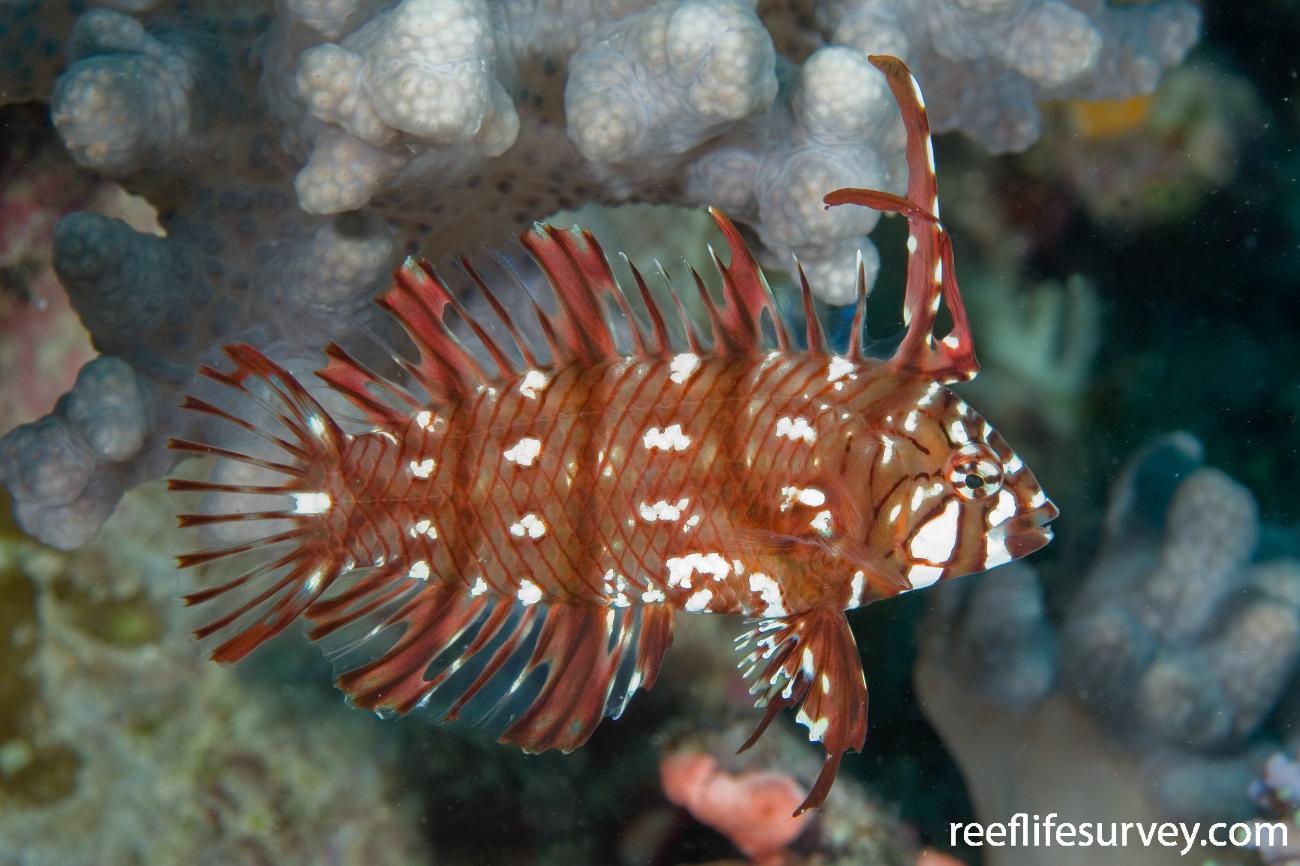 Novaculichthys taeniourus, Juvenile, Naigani Is, Fiji,  Photo: Andrew Green