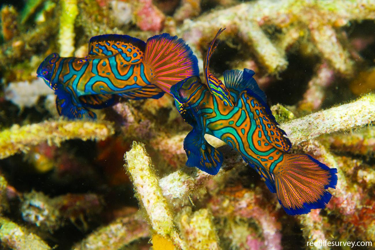 Synchiropus splendidus, Adult, Sulawesi, Indonesia,  Photo: Ian Shaw
