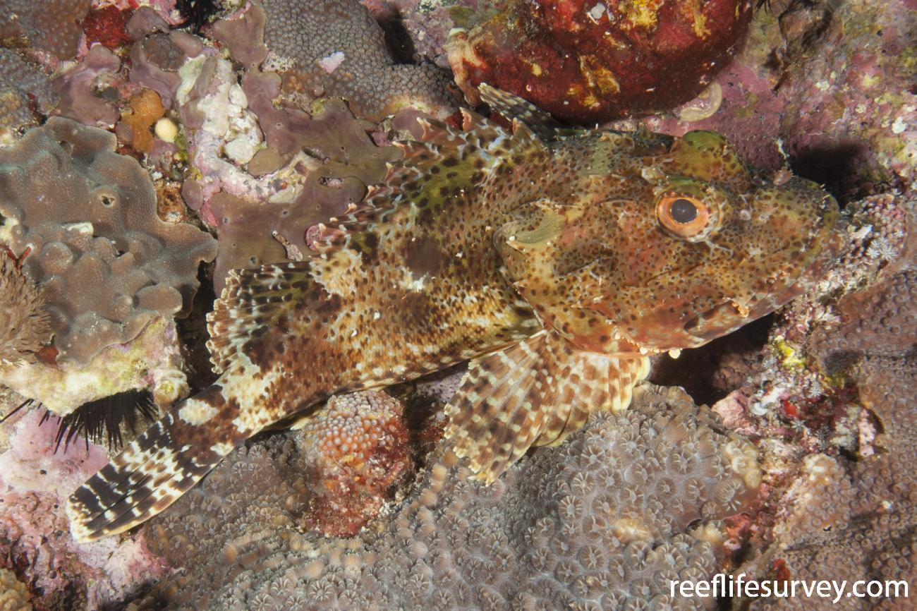 Scorpaena cookii, Lord Howe Is, Australia,  Photo: Ian Shaw