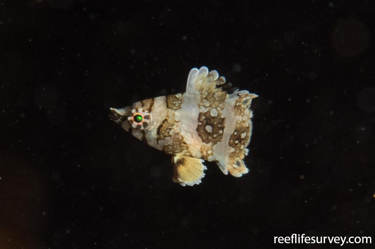 Cheilinus fasciatus, Juvenile, QLD, Australia,  Photo: Rick Stuart-Smith