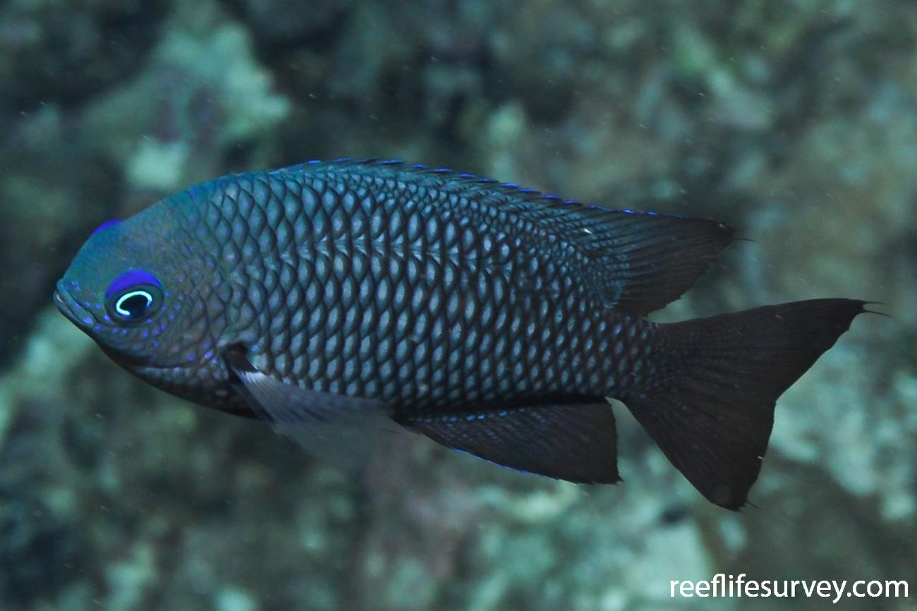 Pomacentrus magniseptus, Great Barrier Reef, Townsville,  Photo: Rick Stuart-Smith