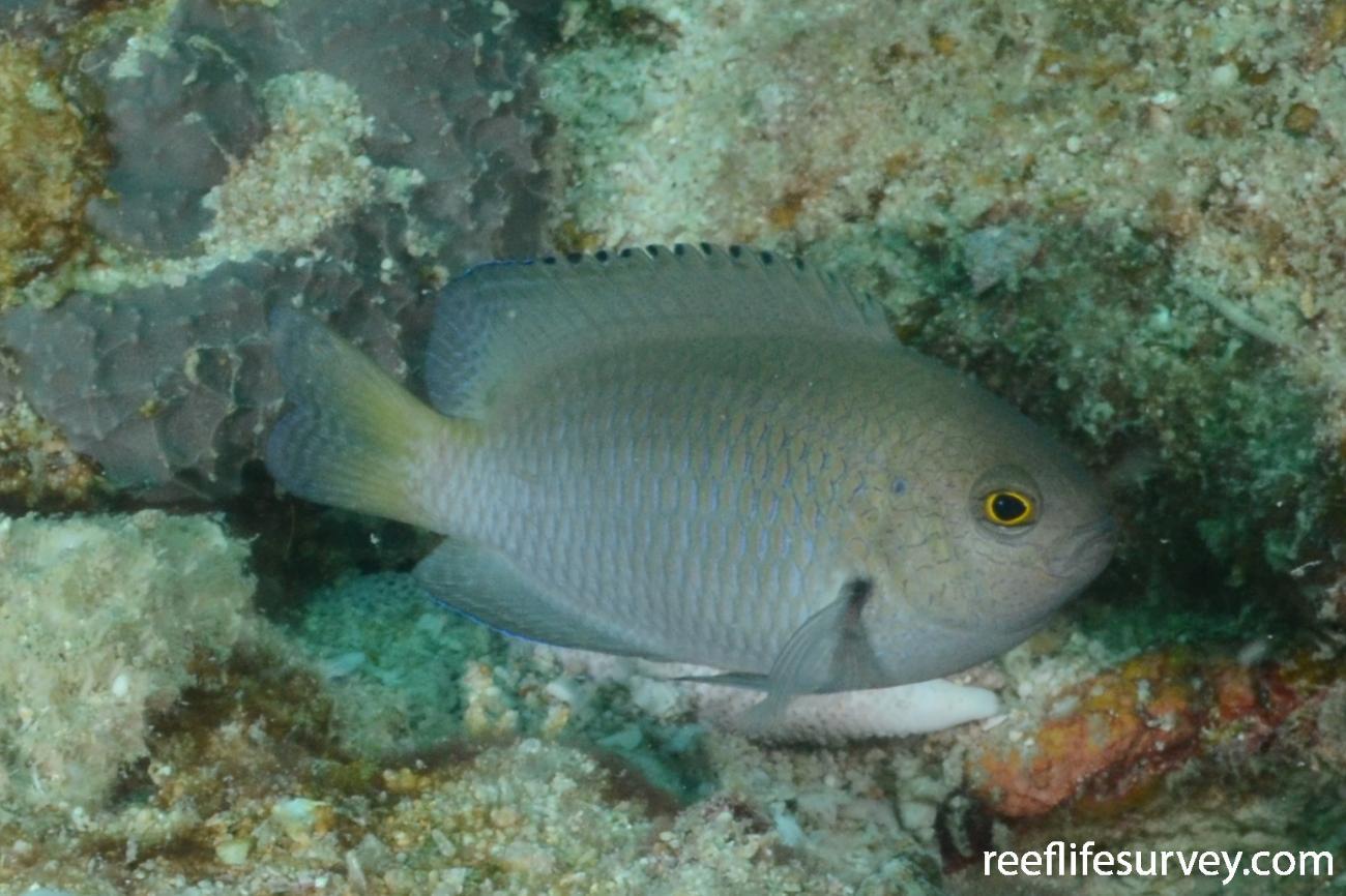 Pomacentrus limosus, Arafura Reef, NT,  Photo: Graham Edgar