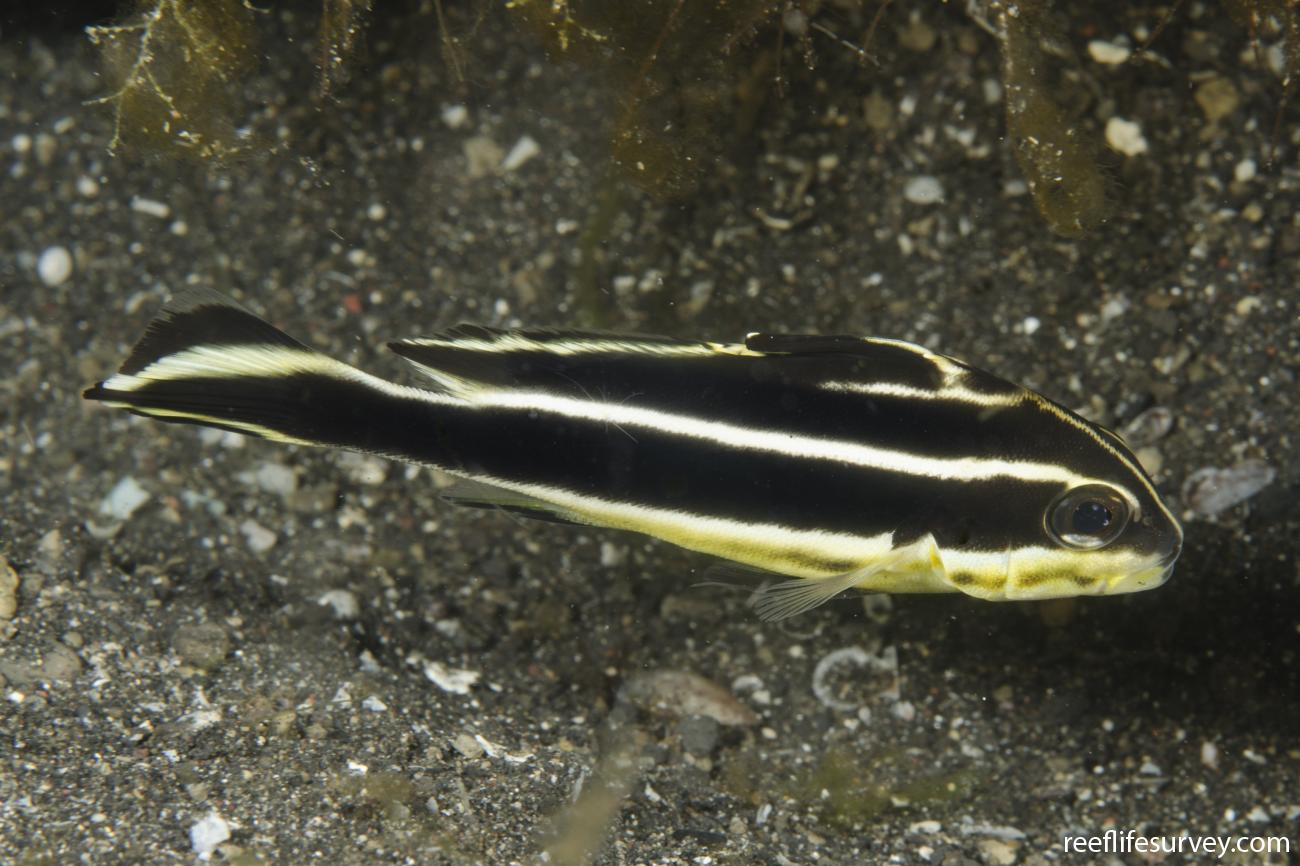 Plectorhinchus lessonii, Sulawesi, Indonesia,  Photo: Ian Shaw