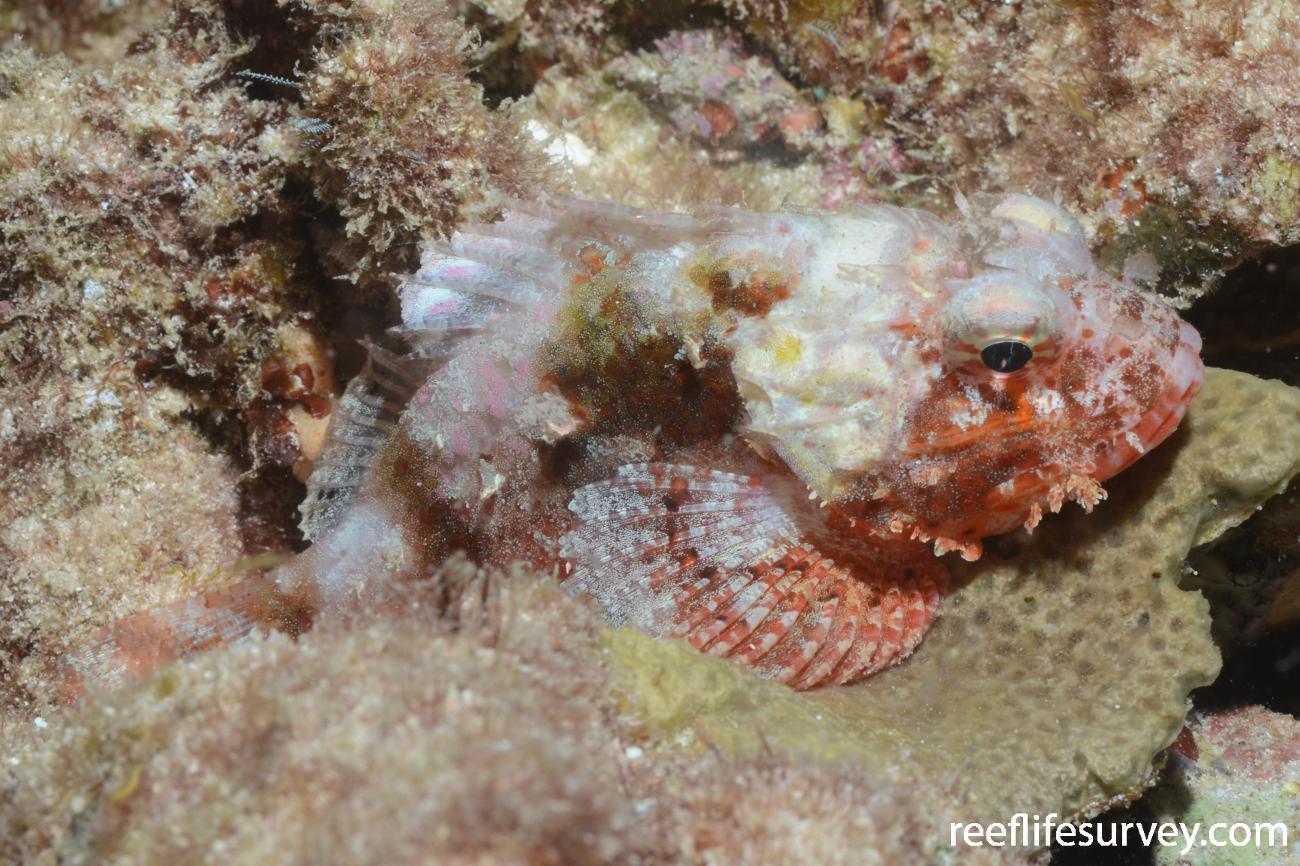 Parascorpaena aurita, southern Coral Sea, Australia,  Photo: Graham Edgar