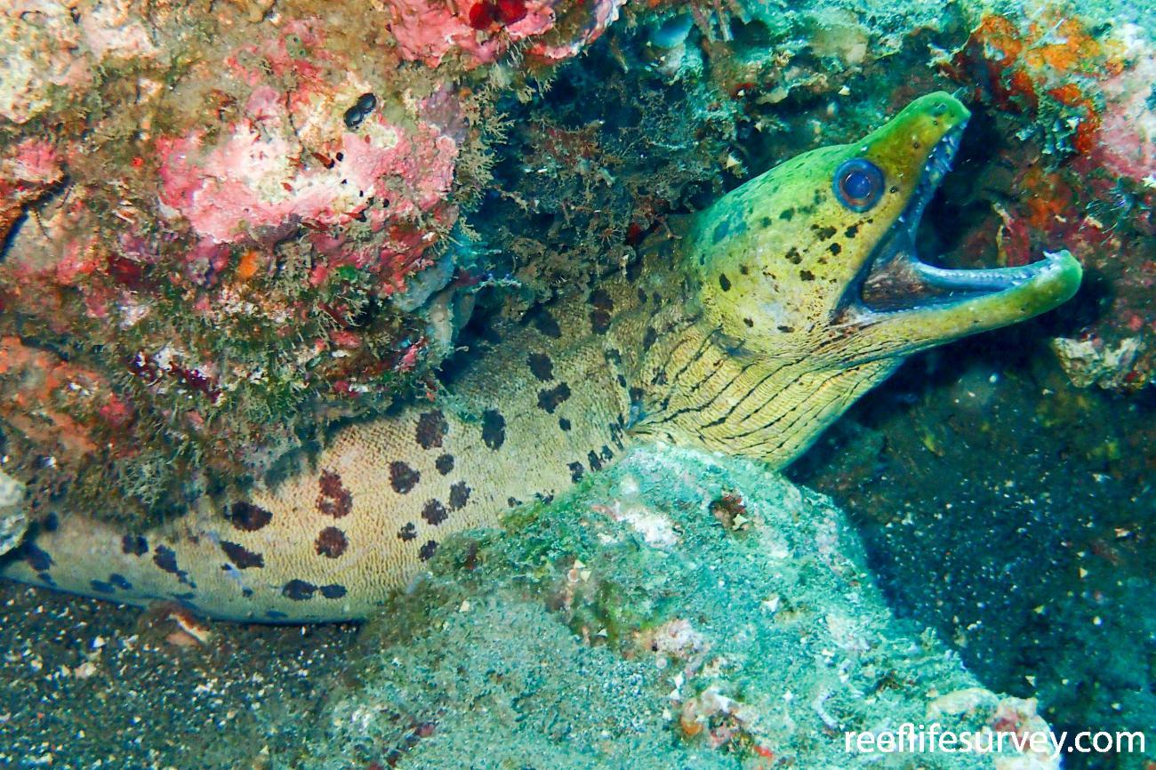 Gymnothorax fimbriatus, Adult, Bali, Indonesia,  Photo: Ian Shaw