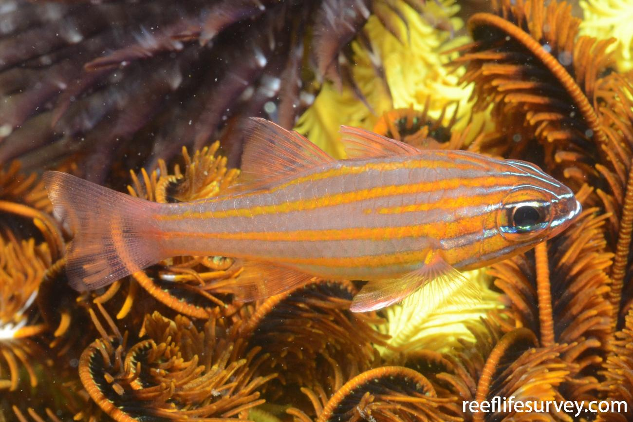 Ostorhinchus cyanosoma, Adult, Ambon Harbour, Indonesia,  Photo: Joe Shields