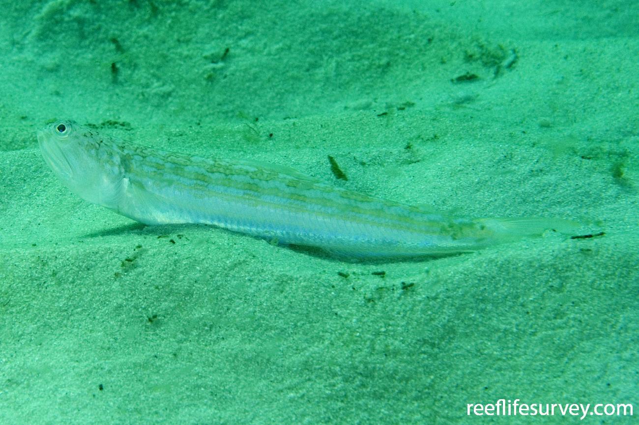 Trachinocephalus myops, Jervis Bay, NSW,  Photo: Andrew Green