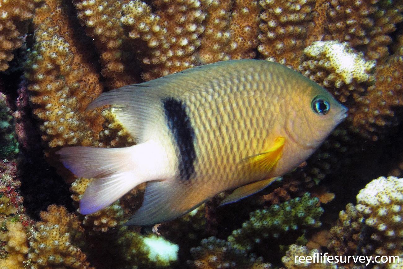 Plectroglyphidodon dickii, Adult, Tuamotu Archipelago,  Photo: Antonia Cooper