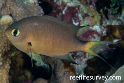 Chromis atripes: Adult.  Photo: Rick Stuart-Smith