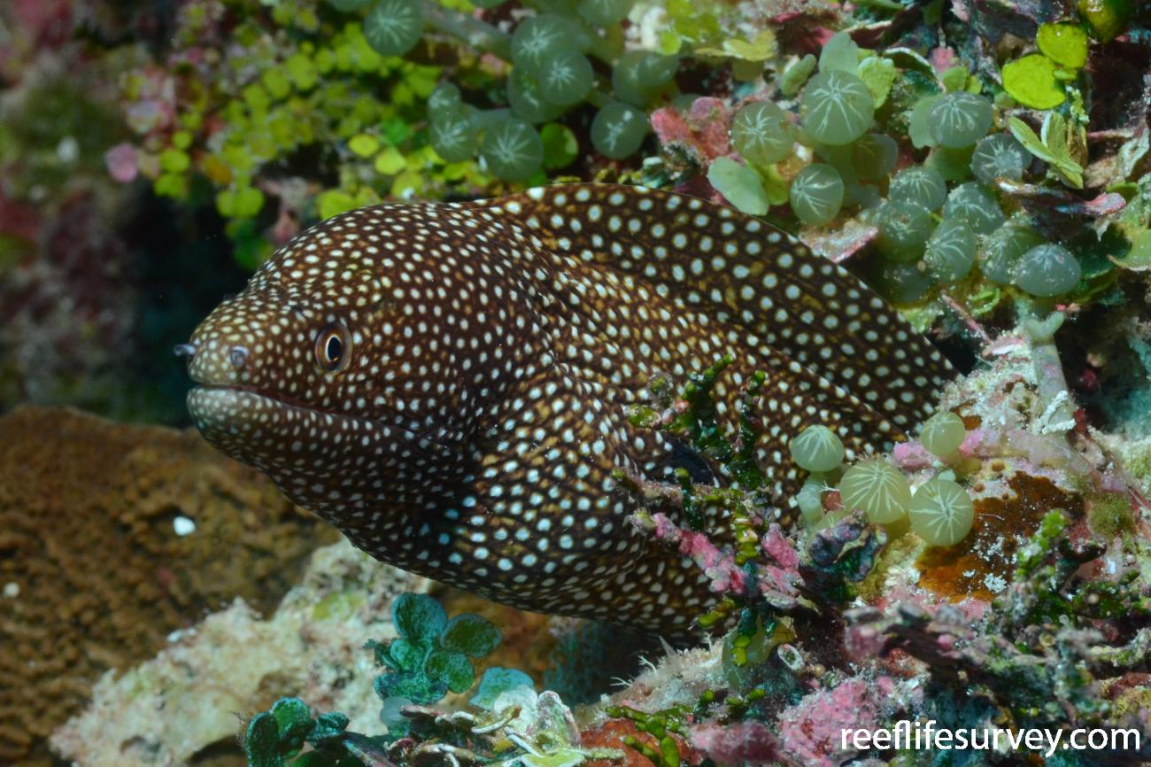 Gymnothorax meleagris, Chilcott Islet, Coral Sea,  Photo: Rick Stuart-Smith