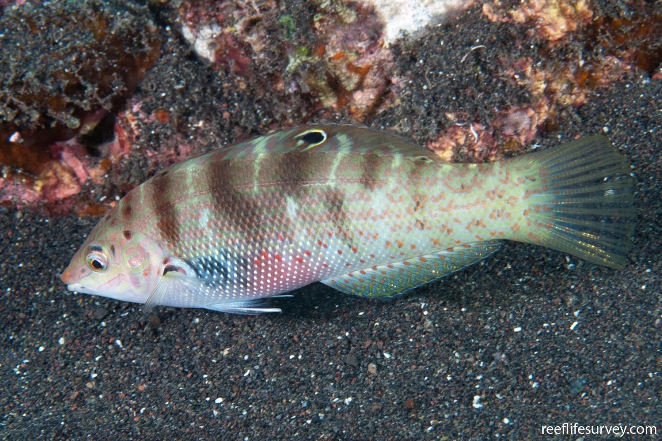 Coris batuensis, Adult, Bali, Indonesia,  Photo: Ian Shaw