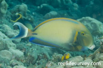 Acanthurus bariene: Bali, Indonesia,  Photo: Ian Shaw