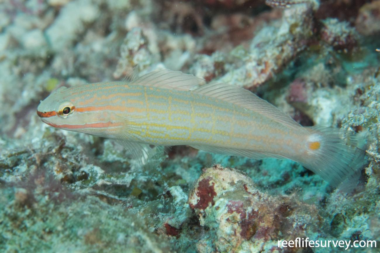 Amblygobius decussatus, QLD, Australia,  Photo: Rick Stuart-Smith