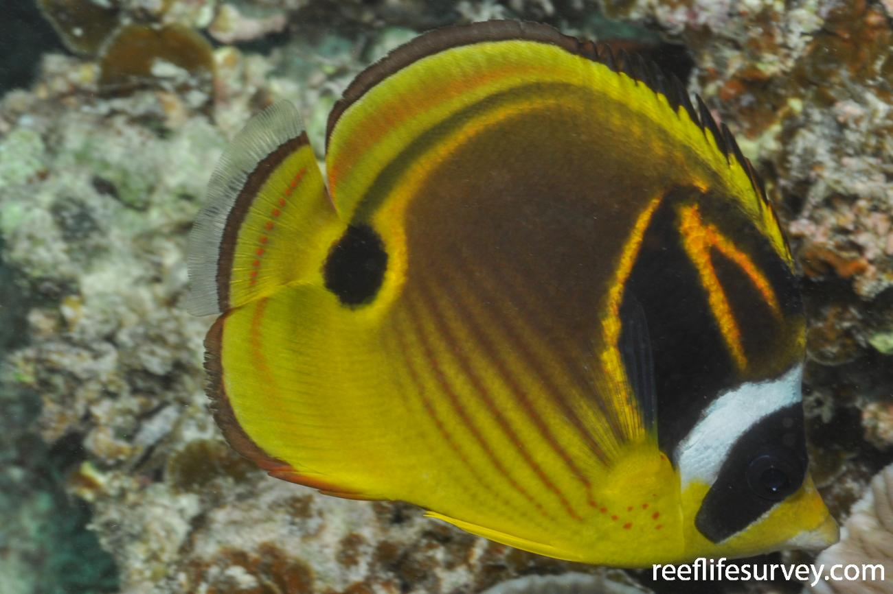 Chaetodon lunula, Adult.  Photo: Rick Stuart-Smith
