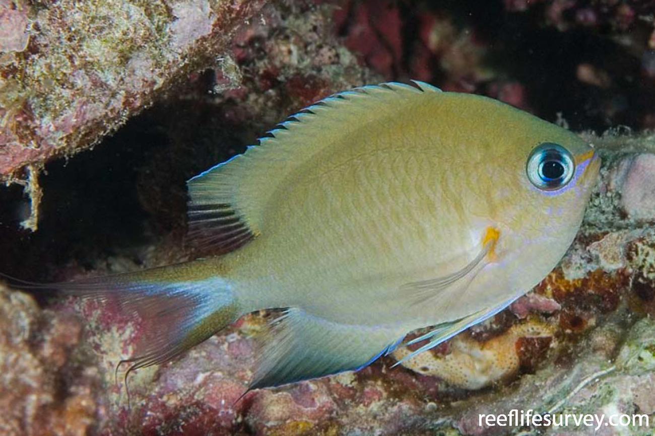 Chromis amboinensis, Adult, Naigani Is, Fiji,  Photo: Andrew Green