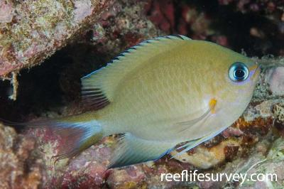 Chromis amboinensis: Adult, Naigani Is, Fiji,  Photo: Andrew Green