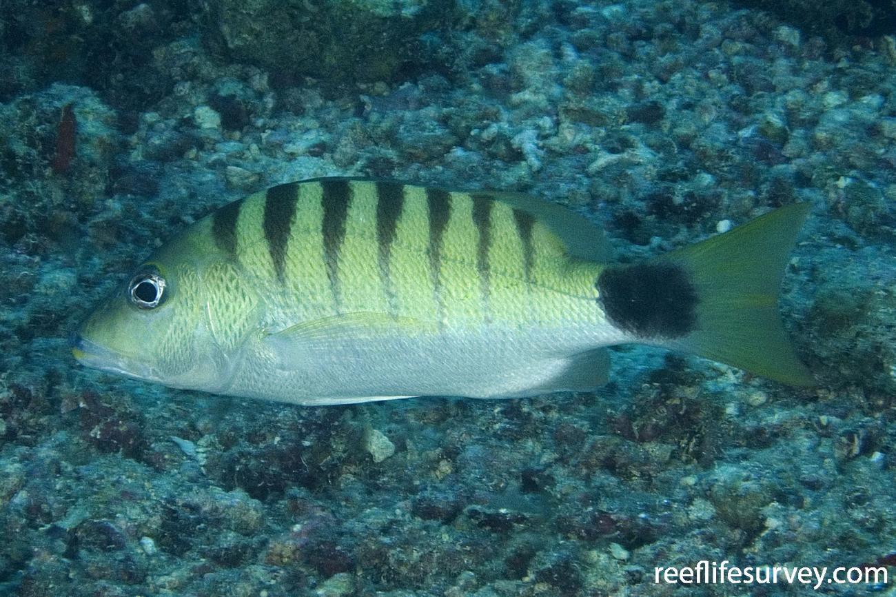 Lutjanus semicinctus, Naigani Is, Fiji,  Photo: Andrew Green
