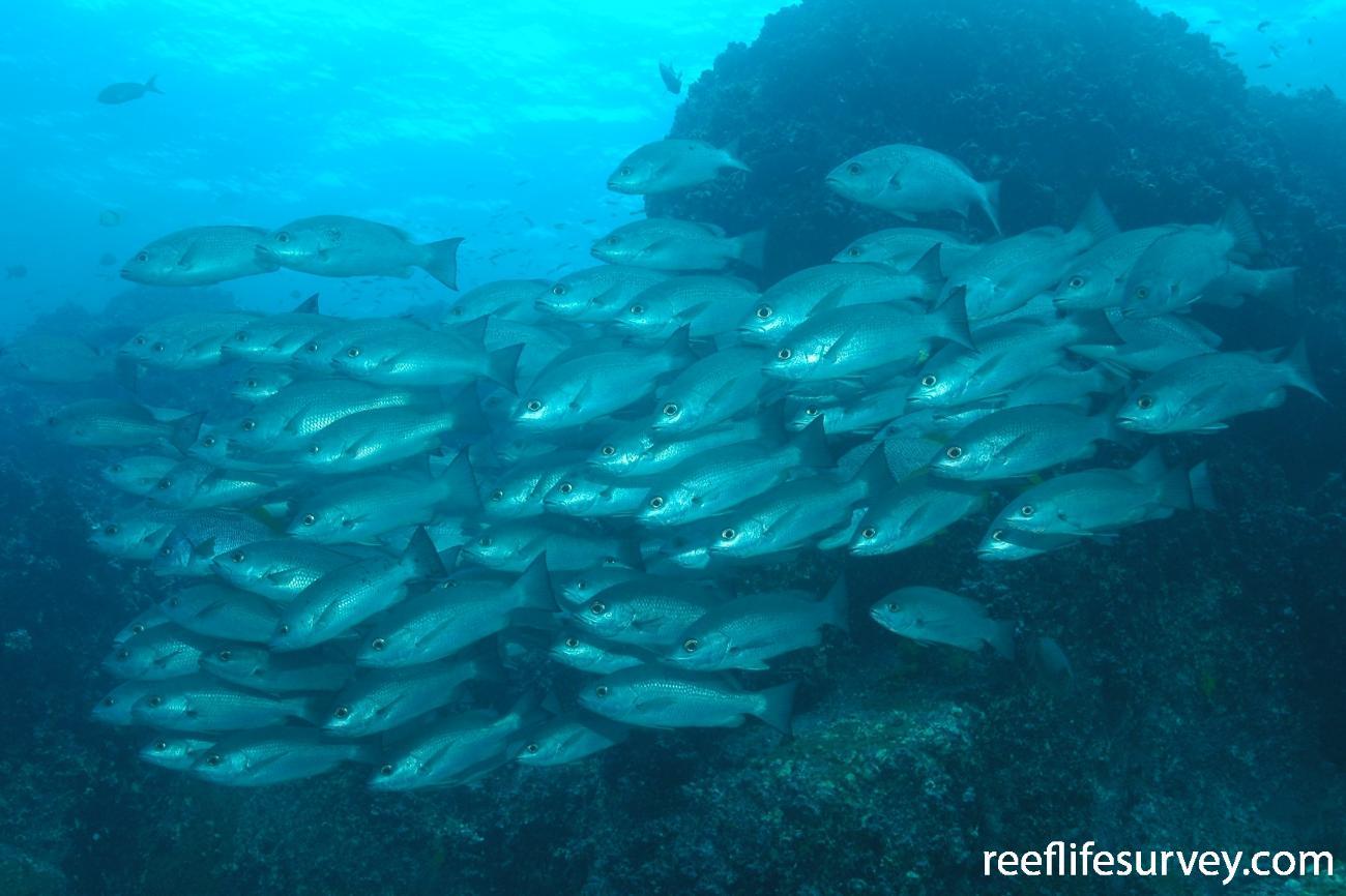 Lutjanus jordani, Galapagos Islands, Ecuador,  Photo: Graham Edgar