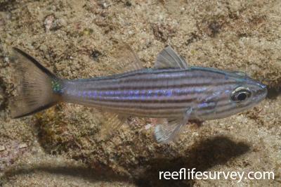 Cheilodipterus intermedius: Adult.  Photo: Graham Edgar