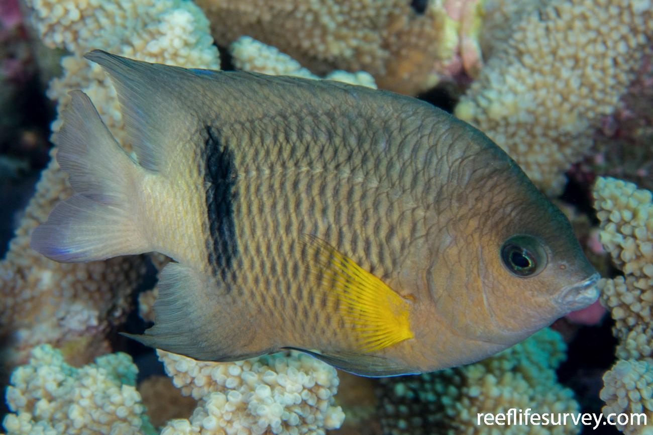 Plectroglyphidodon dickii, Coral Sea, QLD,  Photo: Rick Stuart-Smith