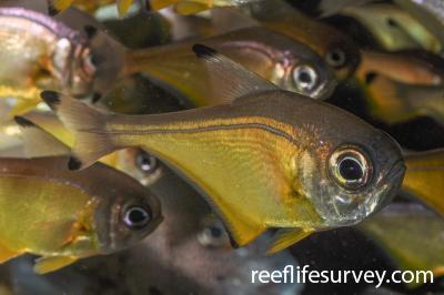 Pempheris affinis:  Photo: Rick Stuart-Smith