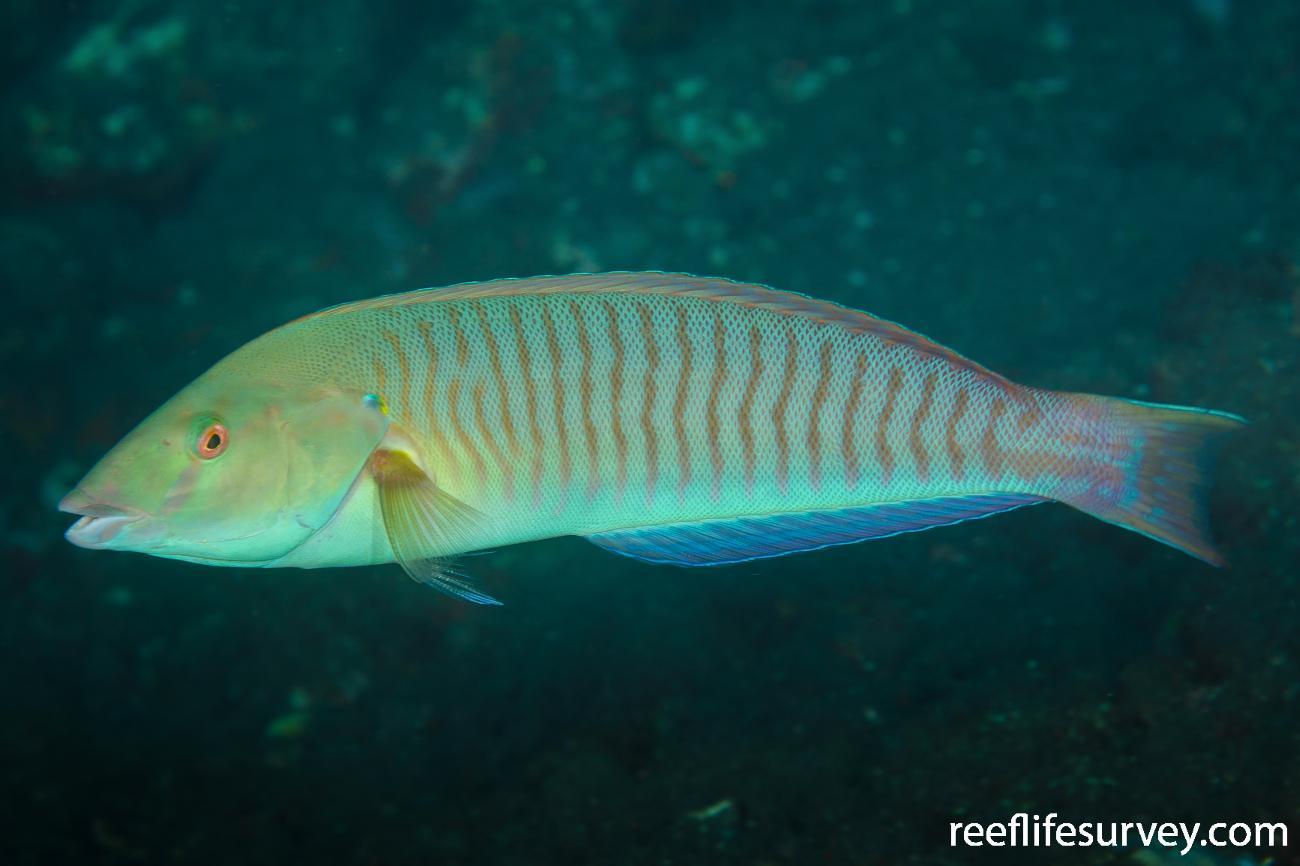 Hologymnosus doliatus, Adult, Bali, Indonesia,  Photo: Ian Shaw