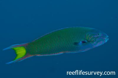 Thalassoma lunare: NSW, Australia,  Photo: Ian Shaw