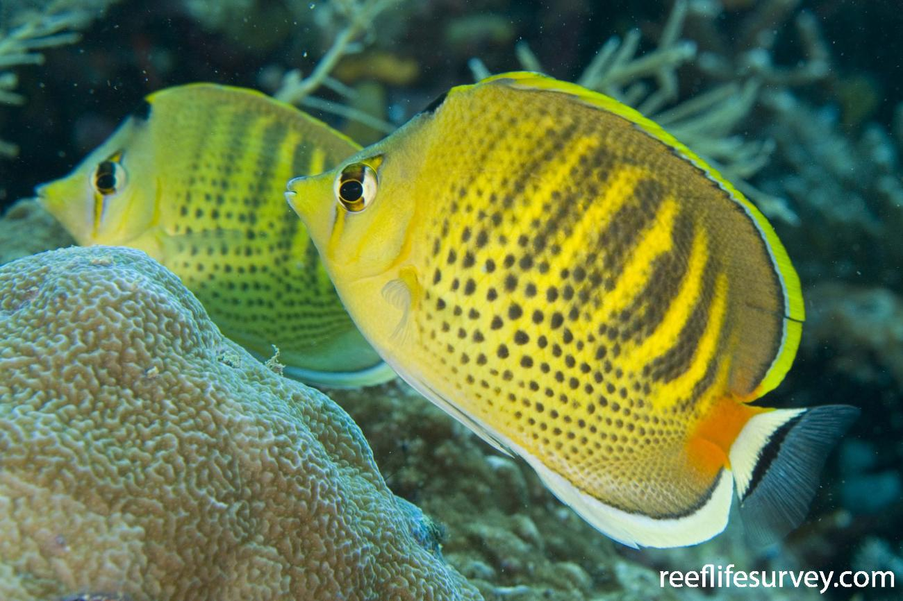 Chaetodon punctatofasciatus, Raja Ampat, Indonesia,  Photo: Andrew Green