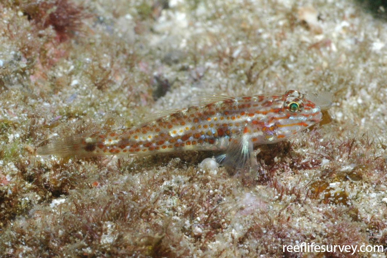 Coryphopterus urospilus, Coiba Island, Panama,  Photo: Graham Edgar