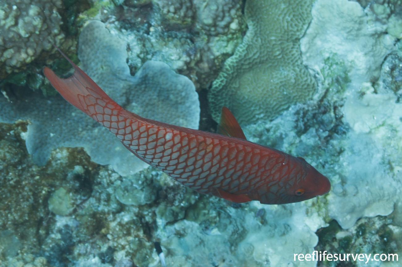 Scarus xanthopleura, Coral Sea, Australia,  Photo: Ian Shaw