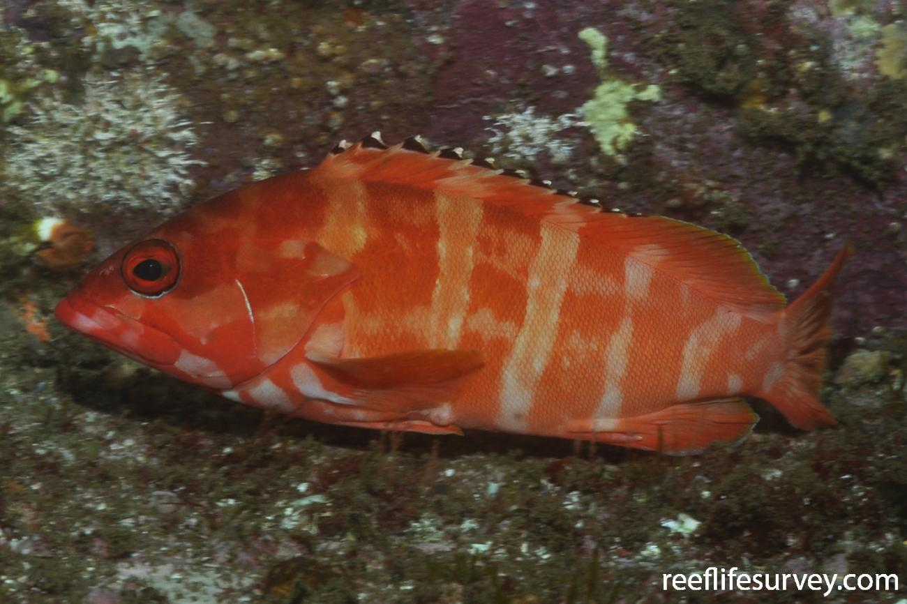 Epinephelus fasciatus, Adult.  Photo: Rick Stuart-Smith