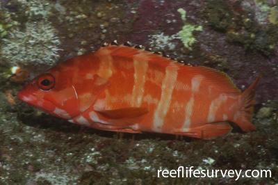 Epinephelus fasciatus: Adult.  Photo: Rick Stuart-Smith