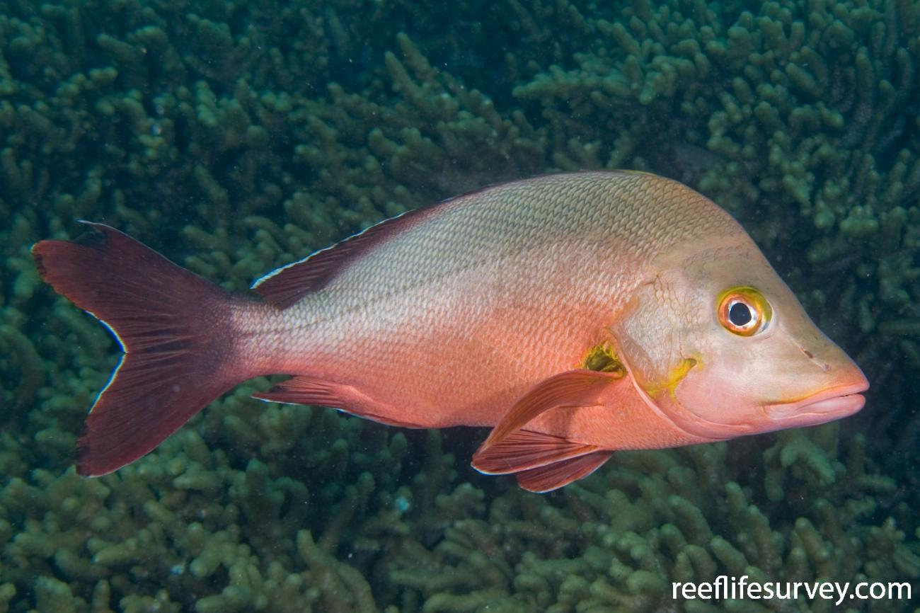 Lutjanus gibbus, Adult, Cairns, Great Barrier Reef, QLD,  Photo: Andrew Green