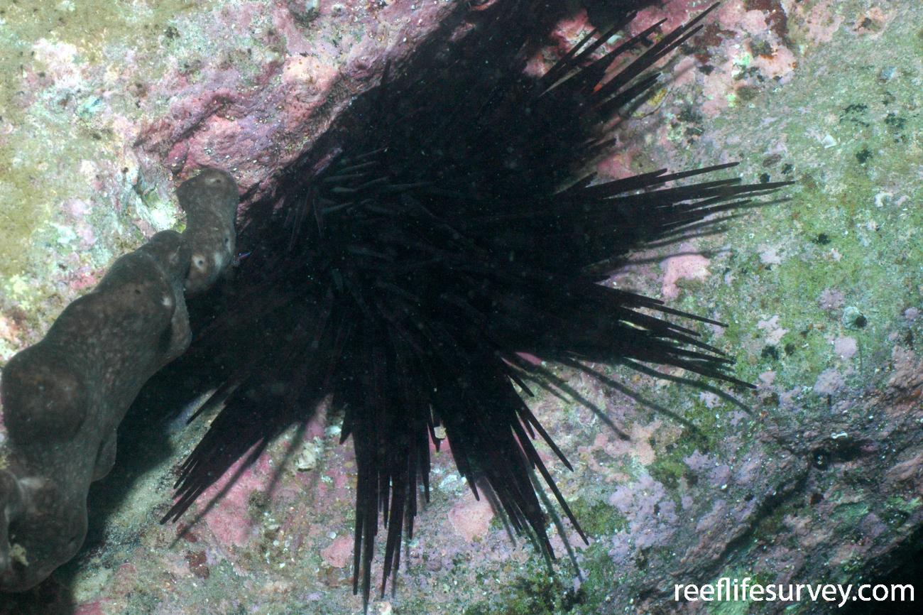 Centrostephanus rodgersii, Jervis Bay, NSW,  Photo: Graham Edgar