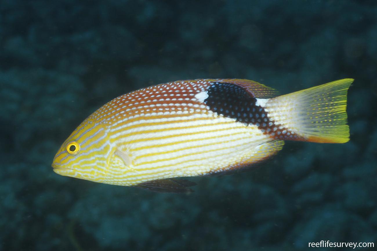 Bodianus loxozonus, Coral Sea, Australia,  Photo: Ian Shaw