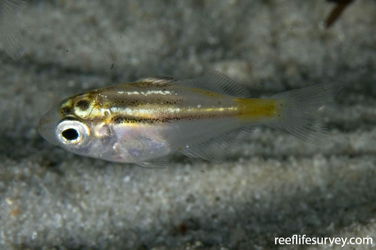 Atypichthys strigatus, Juvenile, Jervis Bay, NSW,  Photo: Andrew Green