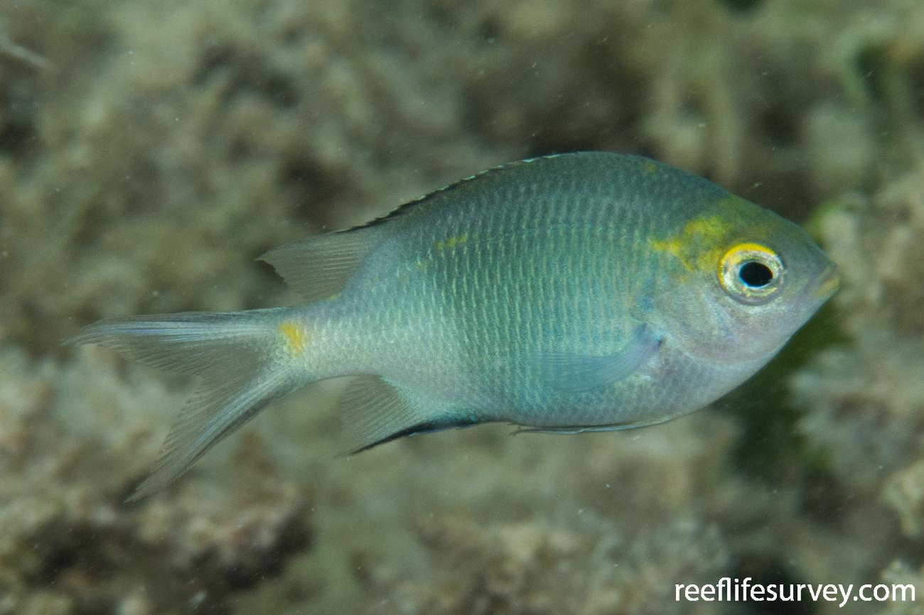 Acanthochromis polyacanthus, Juvenile, QLD, Australia,  Photo: Rick Stuart-Smith