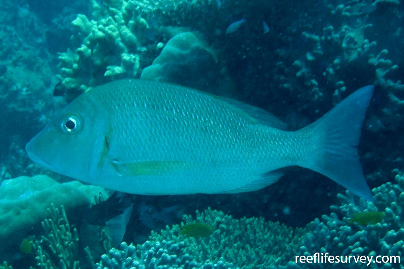 Lethrinus lentjan, Northern Great Barrier Reef, QLD,  Photo: Andrew Green