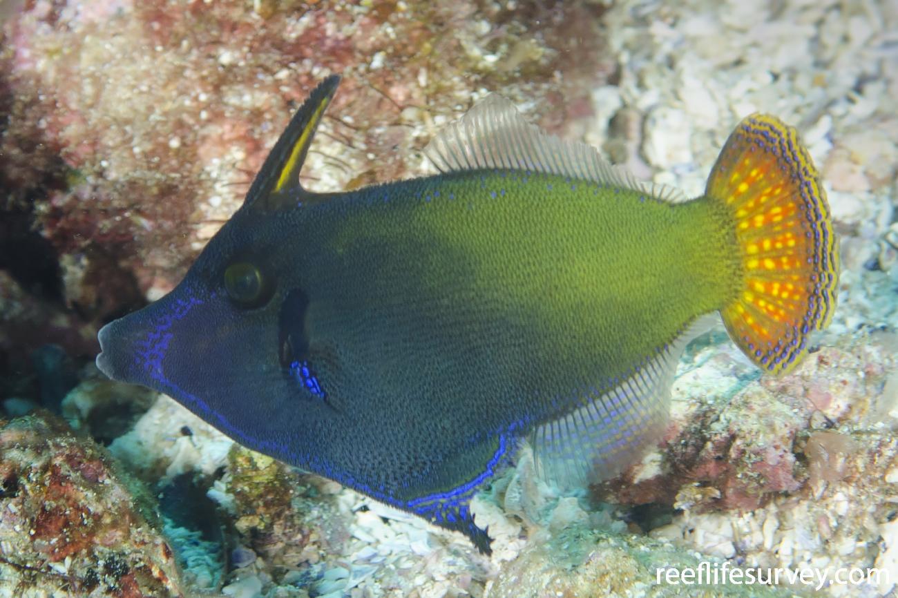 Pervagor janthinosoma, Adult, NSW, Australia,  Photo: Ian Shaw
