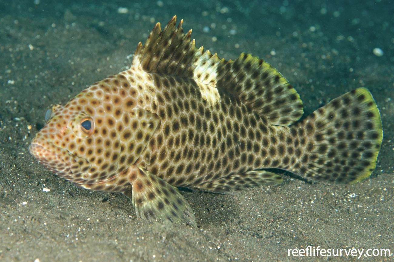 Epinephelus maculatus, Adult, Bali, Indonesia,  Photo: Ian Shaw