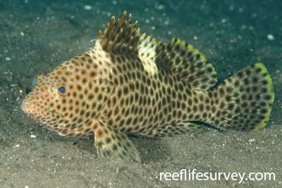Epinephelus maculatus: Adult, Bali, Indonesia,  Photo: Ian Shaw