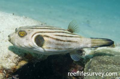 Arothron manilensis: Adult, Great Keppel Is, Qld,  Photo: Andrew Green