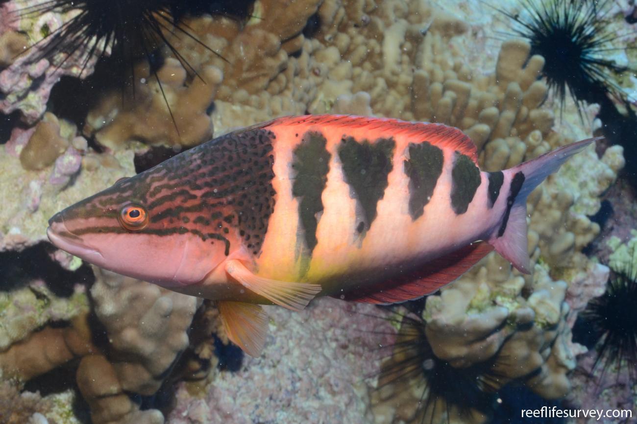 Pseudolabrus semifasciatus, Salas y Gomez,  Photo: Graham Edgar