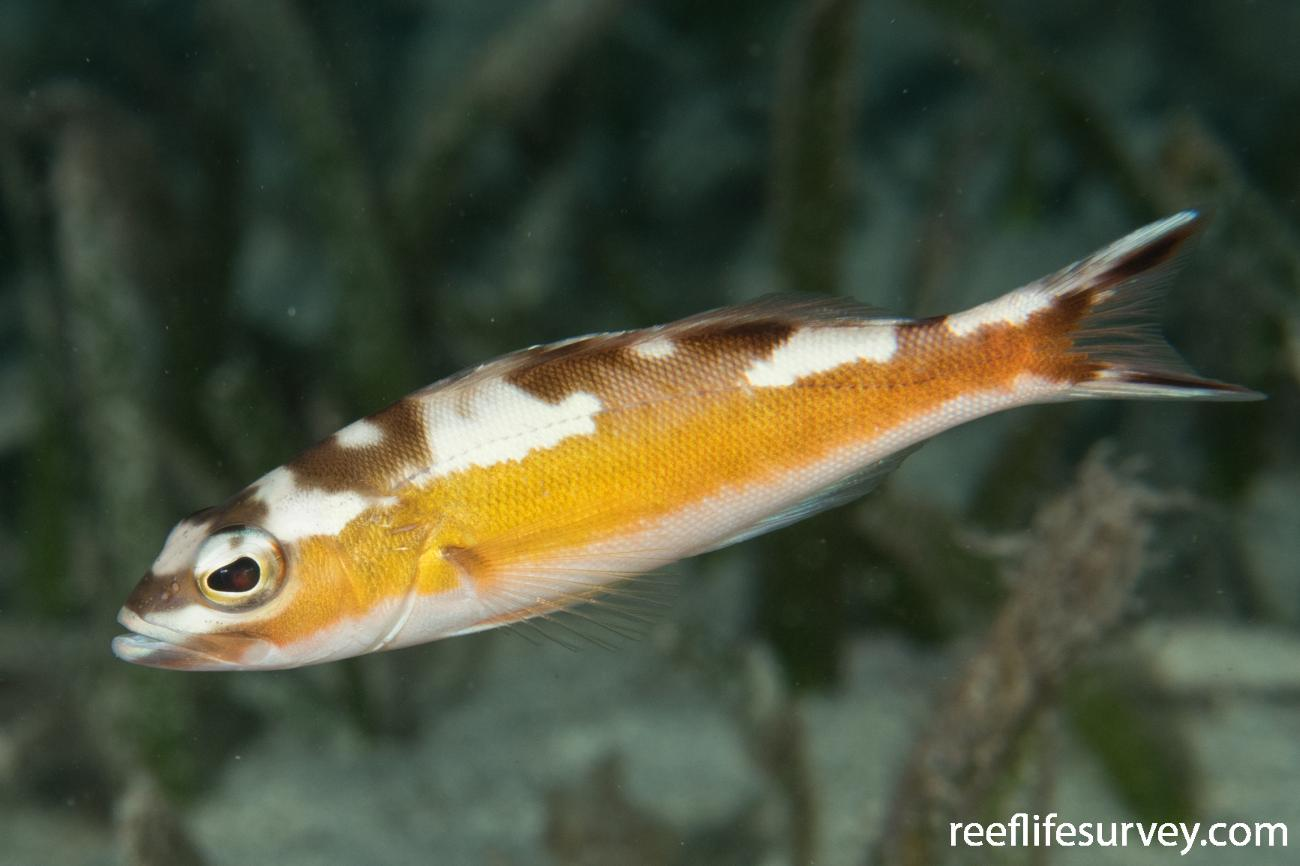 Serranus tabacarius, Belize,  Photo: Rick Stuart-Smith