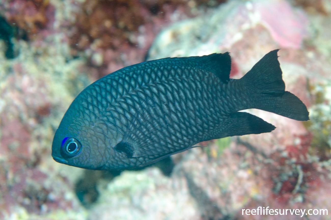 Pomacentrus magniseptus, Great Barrier Reef, Cairns,  Photo: Ian Shaw